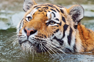Swimming tiger | by Tambako the Jaguar