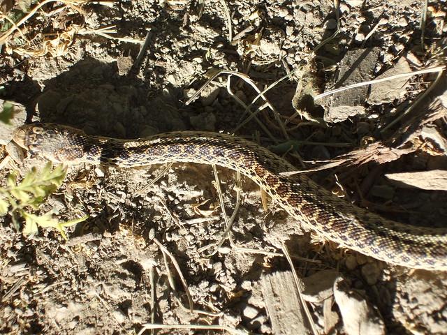 Baby Gopher Snake Food