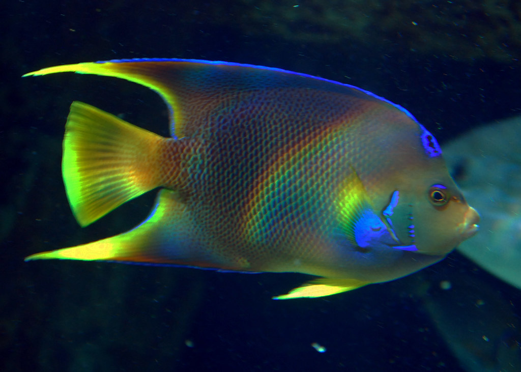 Angel fish rainbow georgia aquarium tropical diver for Tropical rainbow fish
