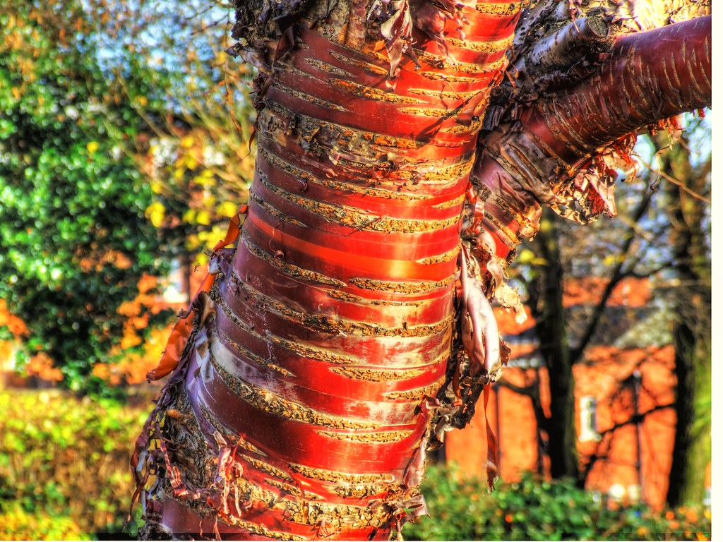 Red ribbon bark hdr this tree is in the valley gardens for Red ribbon around tree