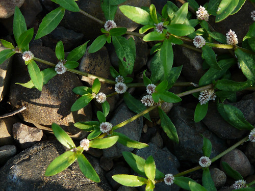 Pon n an kani tamil amaranthaceae for Terrace meaning in tamil