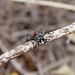 Prionyx Wasp (Prionyx parkeri)