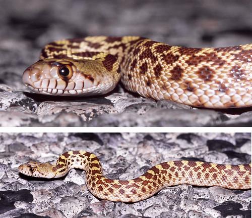 Sonoran gopher snake west texas flickr photo sharing Garden snakes in texas