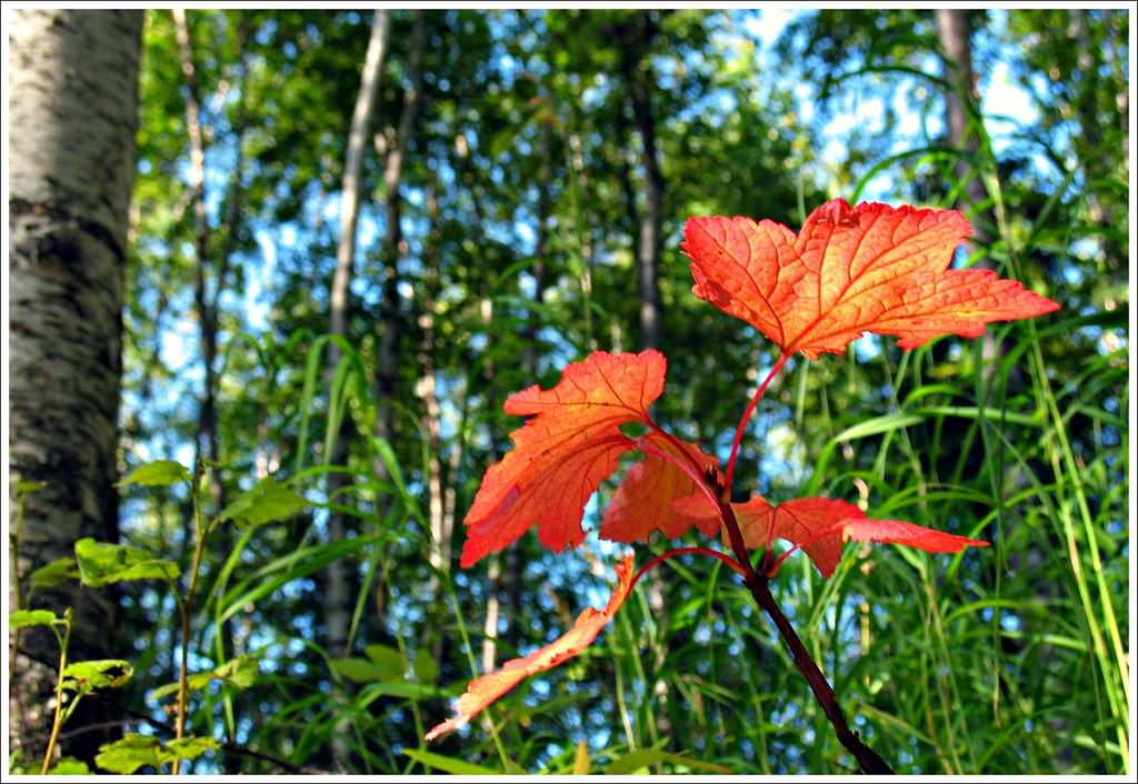 Fall Begins | Highbush cranberry leaves, my backyard ...