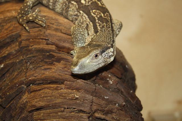 White Throat Monitor Lizard* | Flickr - Photo Sharing!