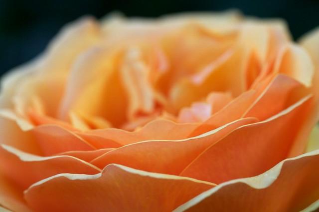 Rose cultivar taken at the portland rose garden portland flickr - Rose cultivars garden ...