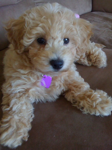Lucy: My Newest Poochon | Flickr - Photo Sharing!