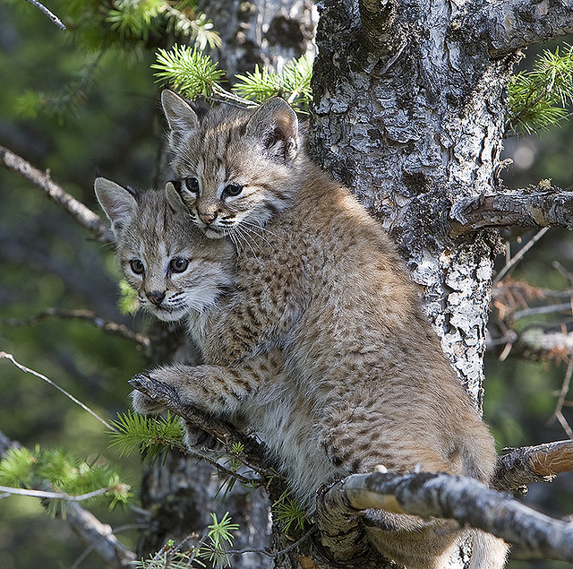 Baby Bobcats up a Tree