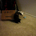 Cayley playing with a toy mouse and a box - she's already getting bigger!