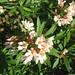 Nerium Oleander (Harduf) in Tel Aviv
