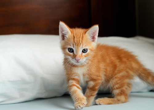 Baby Ginger Cat Gif