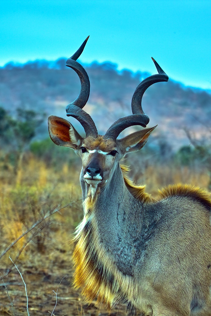 Greater Kudu Bull  Cold Windy Day
