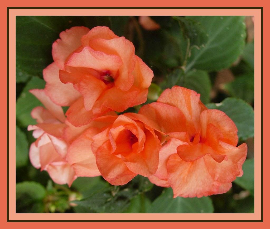 Impatiens a fiore doppio del mio giardino dedicato ai miei for Giardino 3d gratis italiano