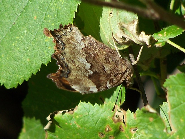 Camouflage Butterfly | Flickr - Photo Sharing!