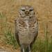 Allensworth Burrowing Owl