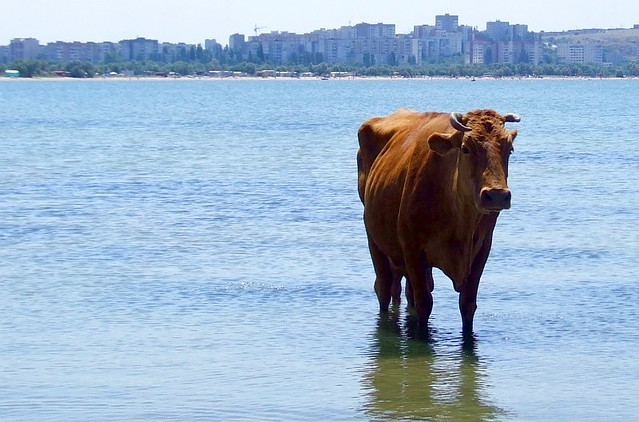 A Cow of Azov Sea | by lukasz.kryger