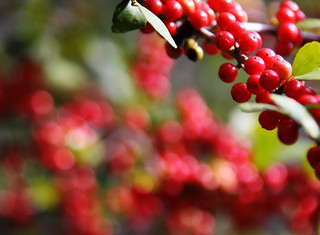 Berry Bright Bokeh | by TPorter2006