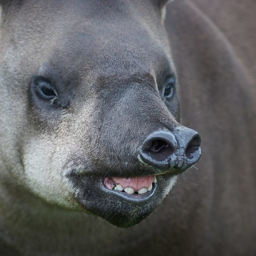"27th of april was ""World Tapir Day"" 