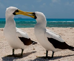 This pair of masked boobies is considering nesting on Trig Island within the French Frigate Shoals (Kanemiloha'i), part of the Hawaiian Islands National Wildlife Refuge and the Papahanaumokuakea Marine National Monument.