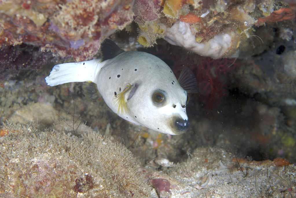 Dog face puffer fish kwonyee88 flickr for Dog face puffer fish