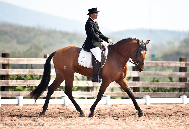 Lusitano Dressage Training Trot Trotting Stock by LuDa-Stock on ...