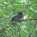 Bird - Baby Robin