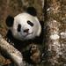 25016913-giant_panda