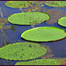 Canopy Walk Lily pads in the Amazon