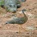 Pavãozinho-do-pará (Eurypyga helias helias)