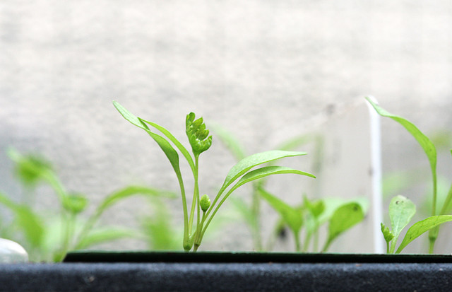 Parsley | Baby flat leaf parsley plants | suziesparkle ...