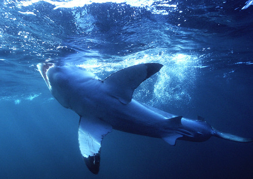 Great White Shark - Underbelly | by Shark Zone