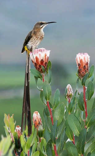 Cape Sugarbird (Promerops cafer) | by Alan Manson