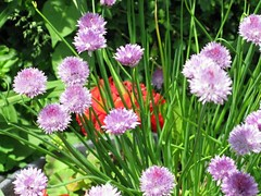 chives and geraniums | by gerbmom