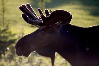 Moose - Wildlife | by lazydaisy0413