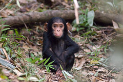Baby Chimp (not captive) | by David Schenfeld