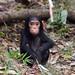 Baby Chimp (not captive)