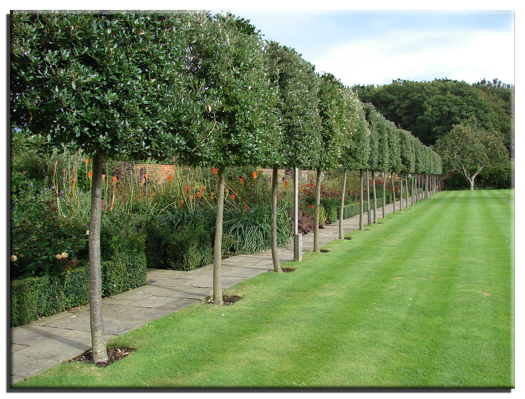 Pleached Trees And Mown Lawn In A Sussex Garden Open