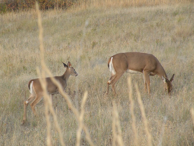 Mom and baby White-Tailed Deer | Flickr - Photo Sharing! - photo#18