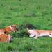 3 lionnes