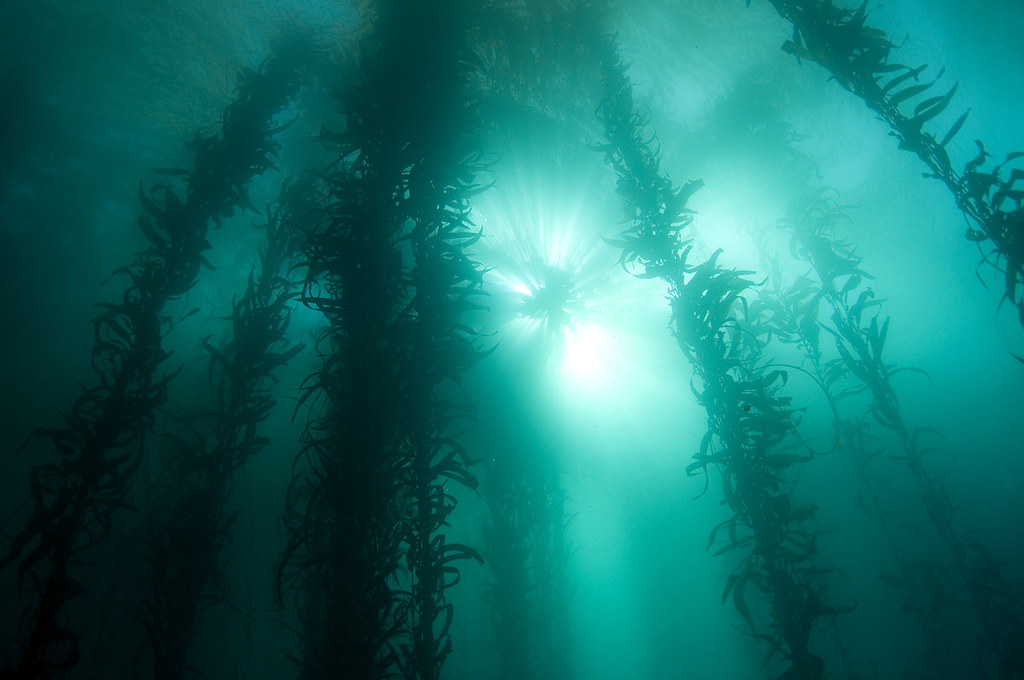 Kelp canopy beyond blue fish cove point lobos state m for Blue fish cove