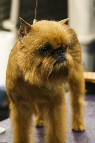 Brussels Griffon | by johnwilliamsphd
