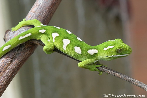 New Zealand Green Gecko Elegan Elegan New Zealand
