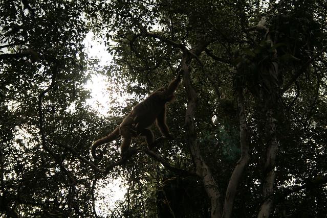 Esteros del Ibera Caracha Monkey Pablo Dodda Flickr