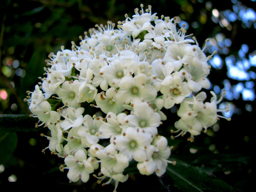 Flores blancas chiquitas | Jardín Botánico, UACH, Valdivia ...