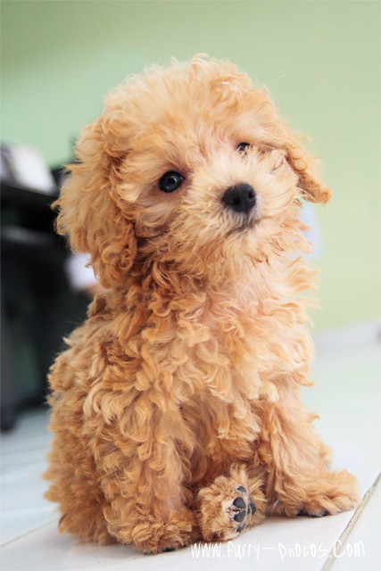 Apricot Poodle 02 This Adorable Puppy Was Here With His