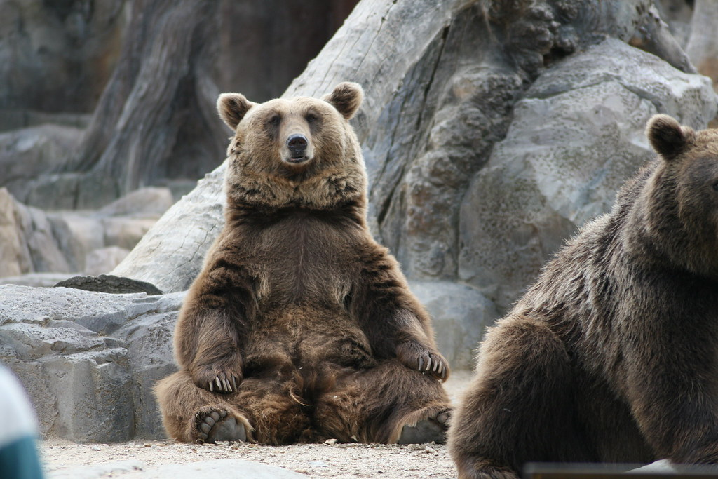 Grizzly Brown and other Bears  Gallery 1