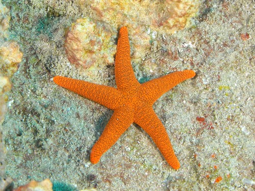 starfish | by tonilindeque