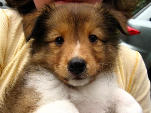 Sheltie Dog For Sale