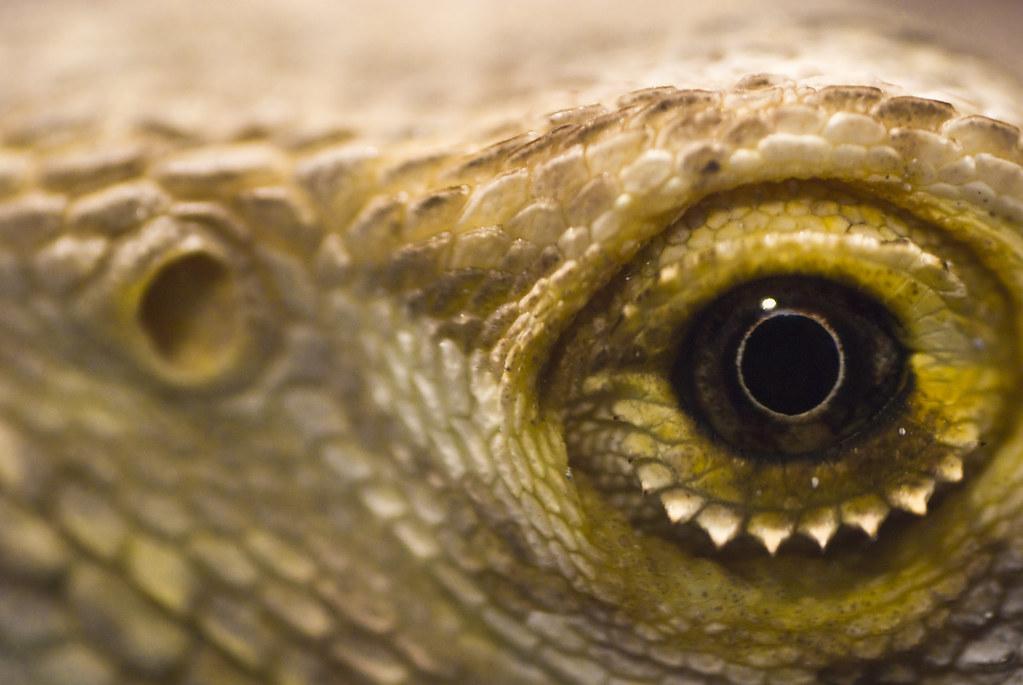 Bearded Dragon Eye Infection Home Remedy