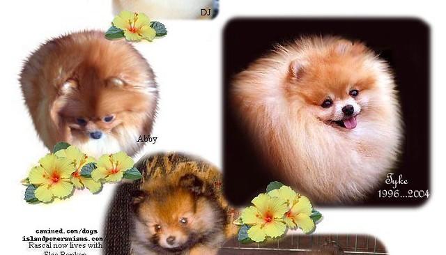Island Pomeranian Dog Breeder Picture 10 Island Pomeranian Flickr